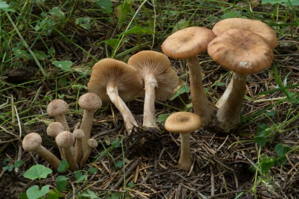 Armillaria gallica (Armillaire bulbeuse) - Photo GP