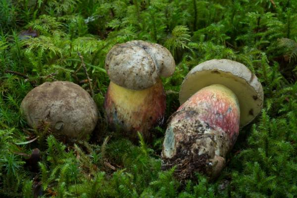 Boletus calopus (Bolet à beau pied) - Photo GP