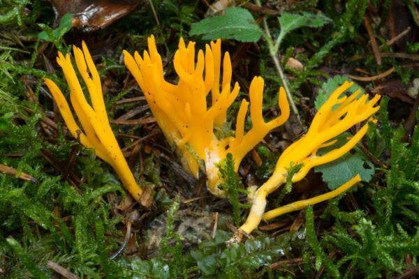 Calocera viscosa (Calocère visqueuse) - Photo GP