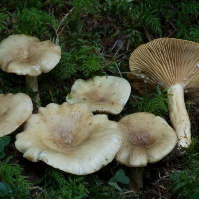 Lactarius pyrogalus (Lactaire à lait brûlant) - Photo GP