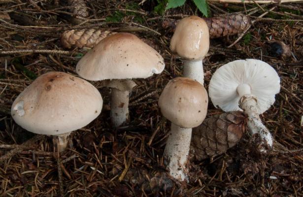 Limacella guttata (Limacelle tachetée) - Photo RP