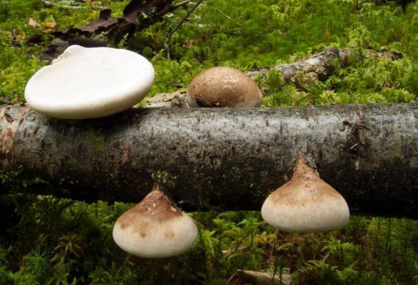 Piptoporus betulinus (Polypore du bouleau) - Photo RP