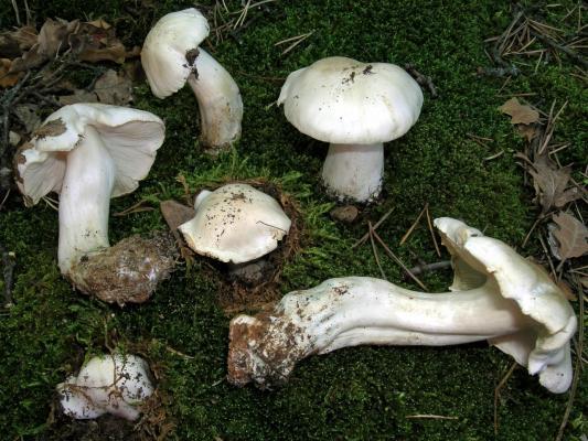 Tricholoma columbetta (Tricholome colombette) - Photo RP