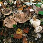 Tricholoma populinum (Tricholome des peupliers) - Photo RP